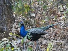 Peacock At Kanha National Park