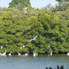 Pelicans At Weedon Island Preserve