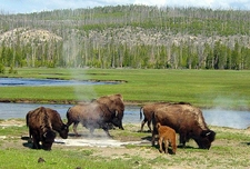 Pelican Valley - Yellowstone - USA