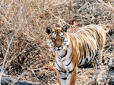Pench Tiger Reserve 1
