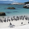 Penguin Colony At Boulders Beach SA Cape Town
