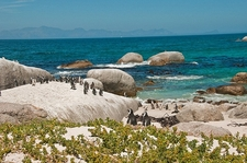 Penguins At Boulders Beach - South Africa