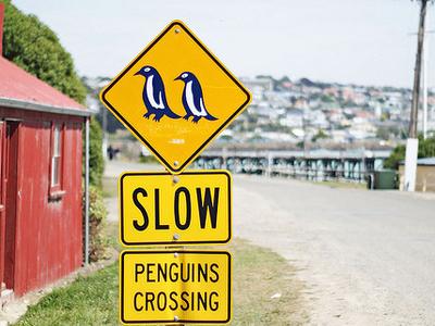 Penguins, Oamaru