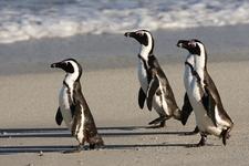 Penguins - Table Mountain National Park - Cape Town SA