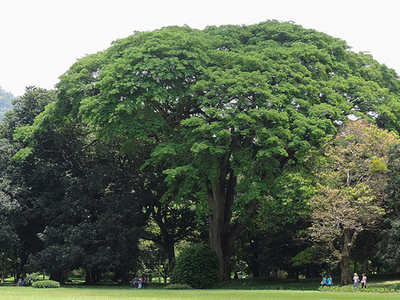 Peradeniya Huge Tree