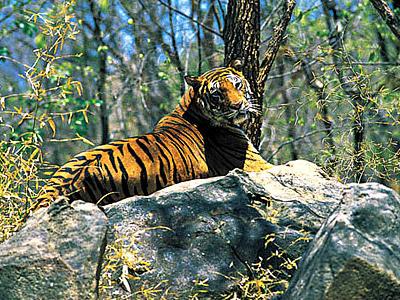 Periyar Tiger