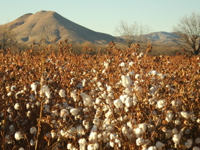 Picacho Peak With Cotton