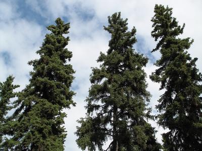 Picea Glauca  Fairbanks