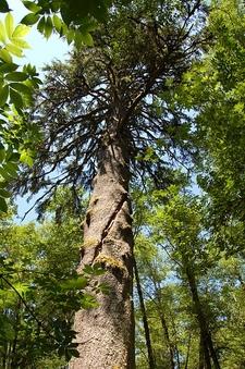 Picea Sitchensis Tolovana Park