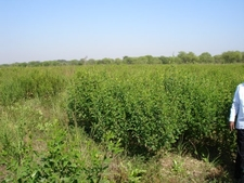 Pigeonpea Cultivation