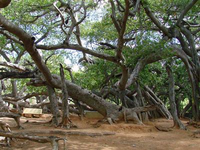Pillalamarri Trees View