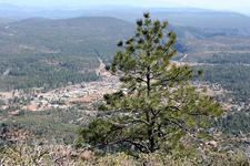 Pine Behind Pine