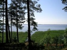 Pines Along Lake Seliger Shoreline