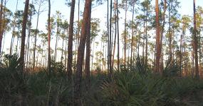 Pine Trees And Palmettos Along A Long Pine Key Trail