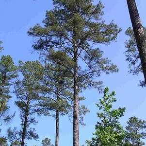 Pinus Taeda Crossett  Forest