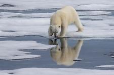 Polar Bear At Jan Mayen Island - Svalbard
