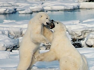 Polar Bears At Northeast Greenland National Park