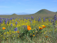 Poppies, Lupine And Monolopia