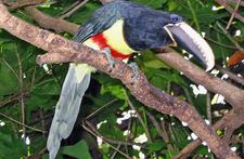 Pteroglossus Aracari Discovery Cove