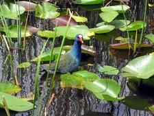 Purple Gallinule Bird - FL Everglades Fan Boat Toyr