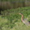 Purple Heron At Madiwala Lake