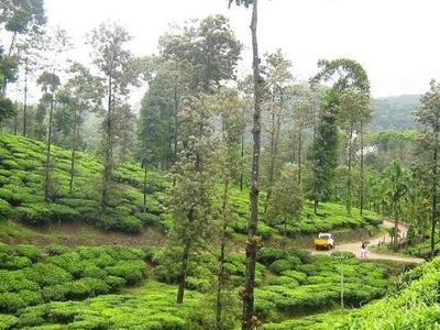 Lush Green Tea Estates In Peermade