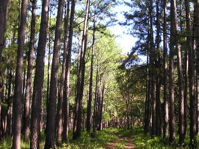 Pine Plantation On  Palm  Island