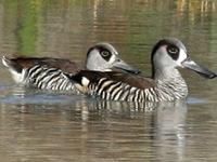 Paroo Várzea e Currawinya Important Bird Area