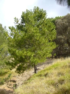 Pinus Greggii