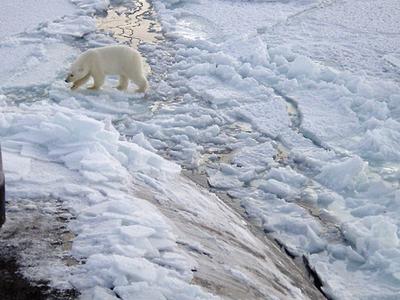 Polar Bears Near North Pole