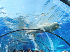 Polar Tunnel In Detroit Zoo