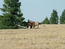 Pryor Range Baby Horse