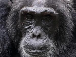 Chimpanzee Tracking And Gorilla Tour Fotos