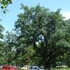 Quercus Robur, Debrecen