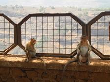 Rajmachi Monkeys - Lonavala - Maharashtra - India