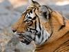 Ranthambore NP Tiger