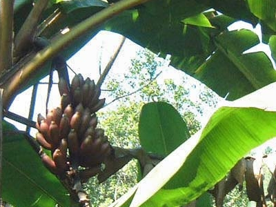 Red Bananas In Kitulgala Forest