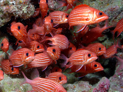 Hawaiian Squirrelfish At French Frigate Shoals