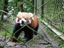 Red Panda Asia