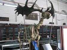 Reindeer Skeleton