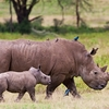 Rhinoceros With Baby - Lake Nakuru