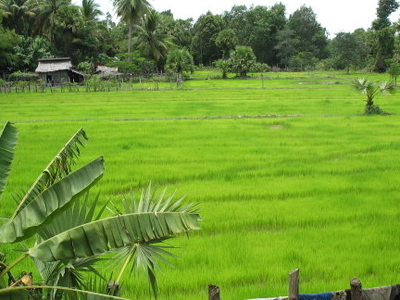 Rice Field In Pursat