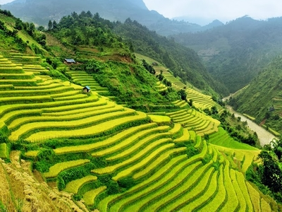 Rice Fields Vietnam