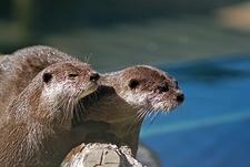 River Otters @ Wellington Zoo NZ