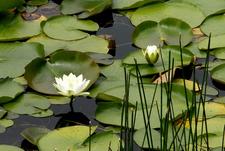 Rood Bridge Park Water Lily - Hillsboro OR