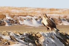 Rough-Legged Buzzard - Mongolia Gobi Desert