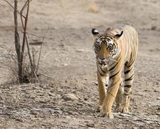 Royal Walk Of The Tiger At Ranthambhore National Park