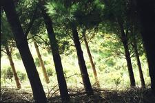 Ruahine - Manawatu Leaning Trees