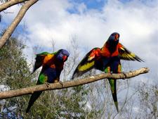 Rainbow Lorikeets At Lone Pine Koala Sanctuary