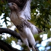 Red-Tailed Hawk In Riverside Park